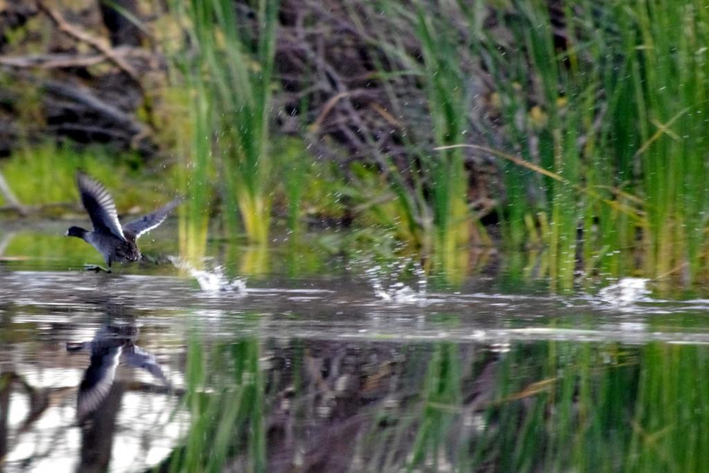 Mud Hen Walking on Water