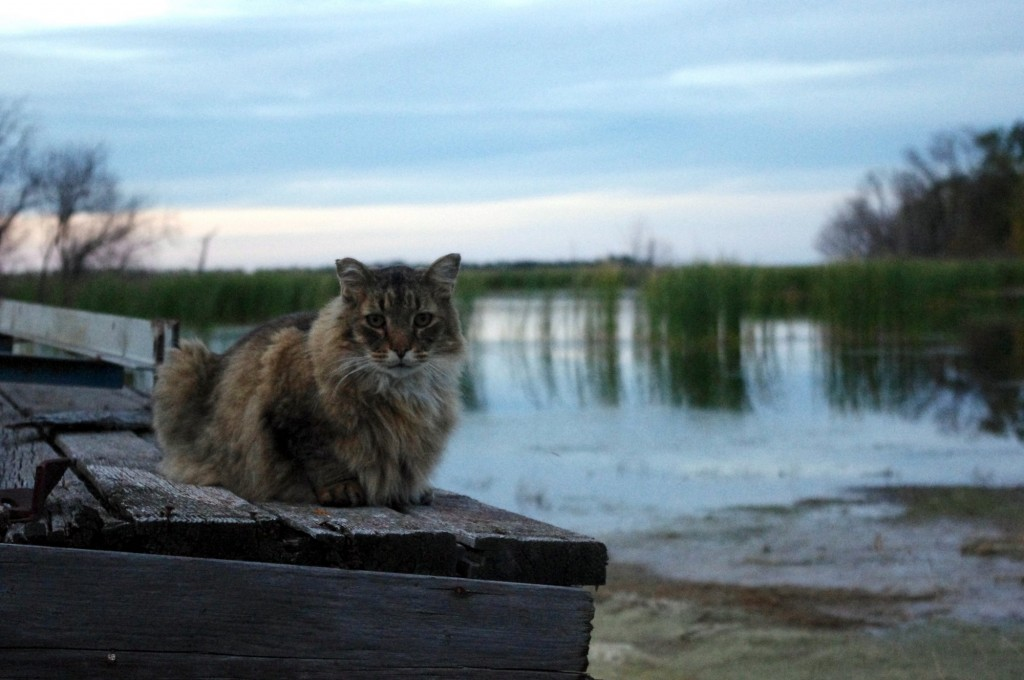 Maine Coon Cat Overlooking Devils Lake