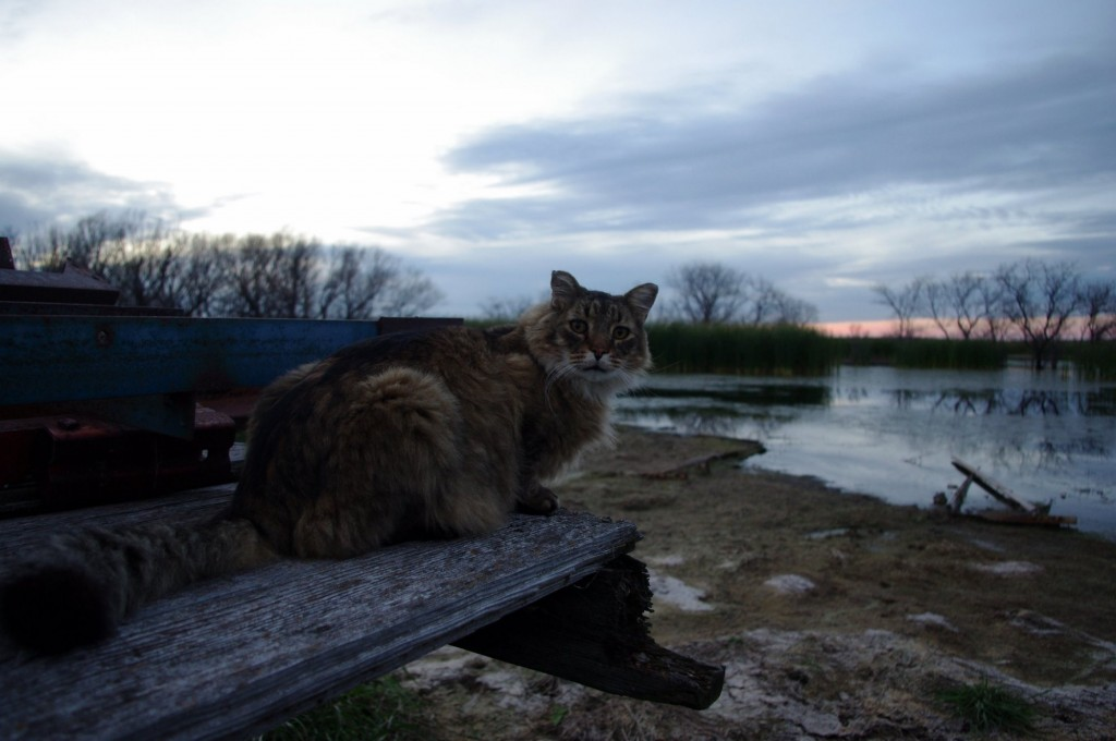Maine Coon Cat Pictures