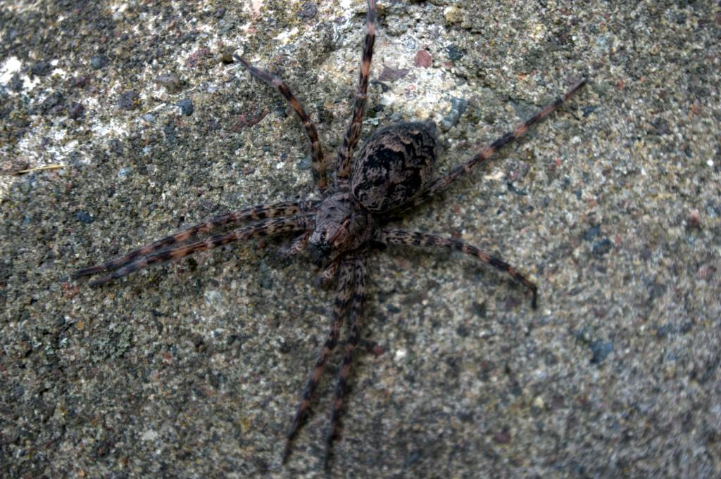 Wolf Spider Body (Family Lycosidae)